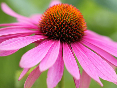 Let's get to know Echinacea a little better