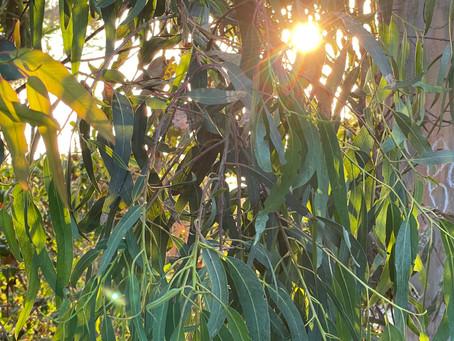 Ingredient Spotlight: Eucalyptus