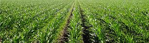 Australian Corn Harvest non gmo