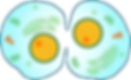 kisspng-cytokinesis-mitosis-cell-divisio