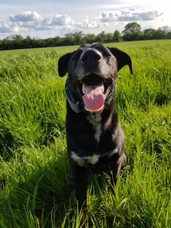 black dog in a field.jpg