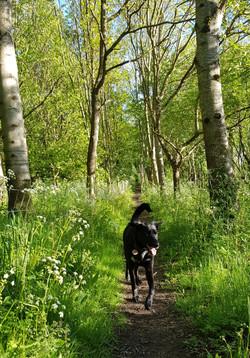 black dog running on forest path.jpg