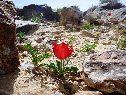 Desert blossom Negev Desert