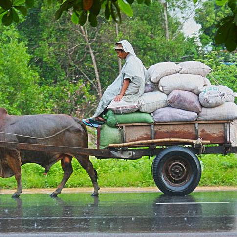 Ox Cart in Rain