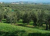 Oliveto due_edited.jpg