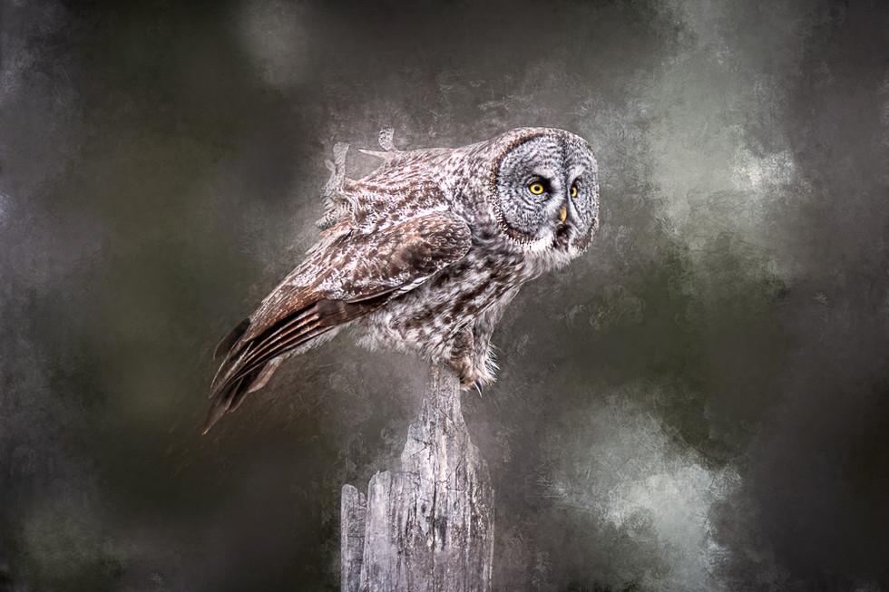 Great Grey Owl - Balancing Act