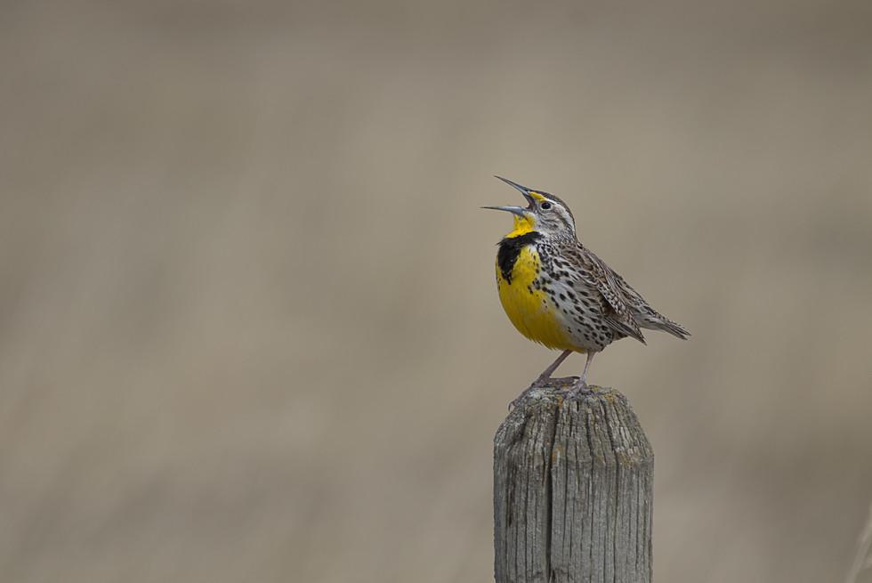 Meadowlark Singing on the fencepost. wsj