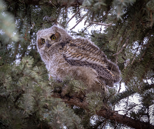 Great Horned Owlet Oldest- New Neighbour