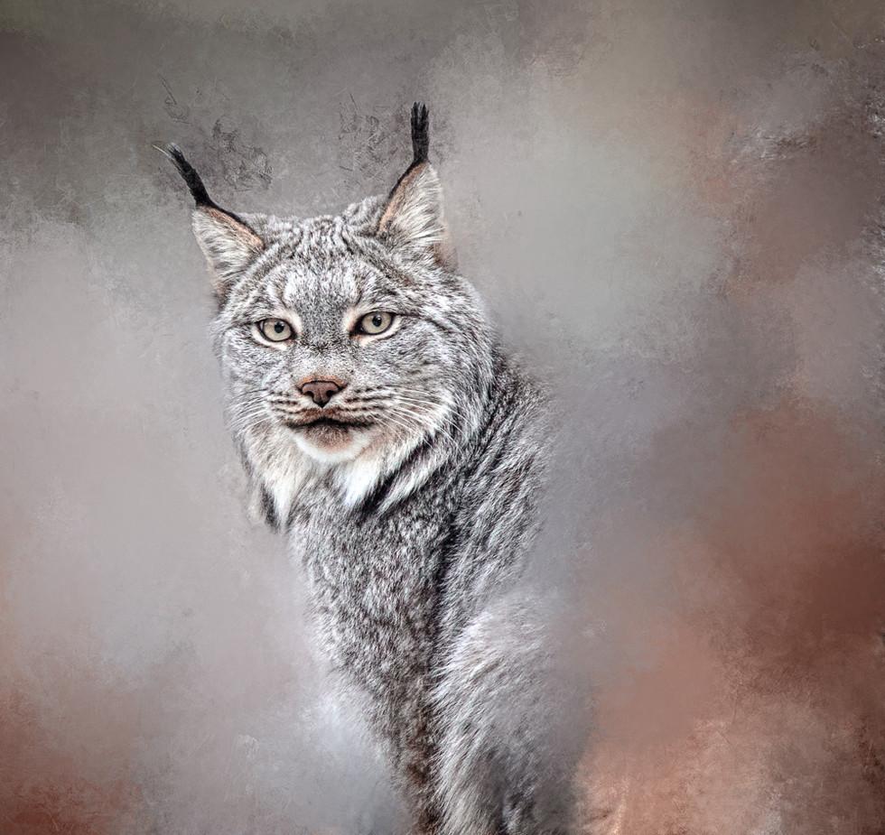 Lynx - Observation