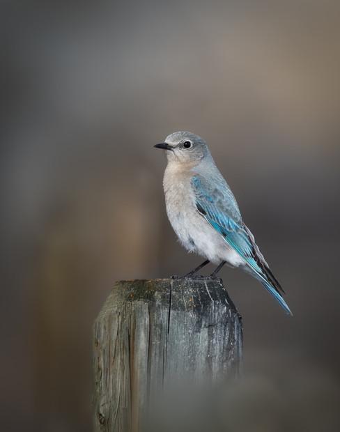 Female Bluebird - Beautiful Blue_.jpg
