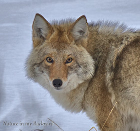 Coyote close up wm.jpg