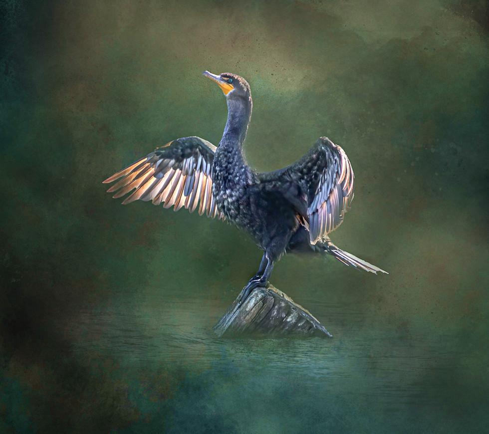 Cormorant - Stretch