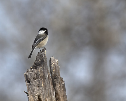 Blacked Cap Chickadee