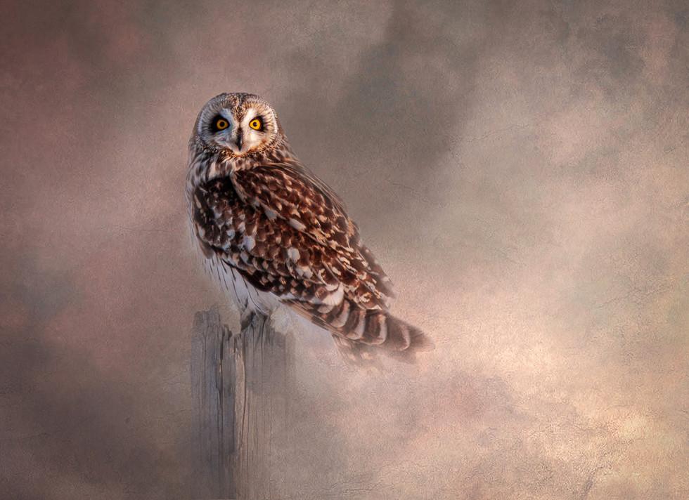 Short Eared Owl - Curiousity