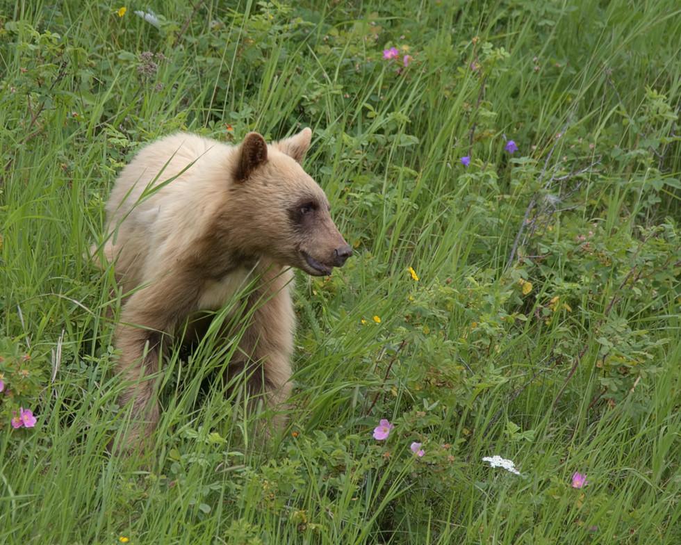 Blond Bear Cub