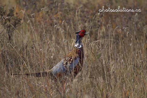 Pheasant