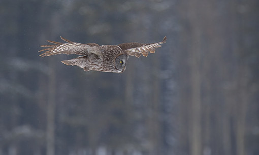 Great Grey - Hovering during the snowfal
