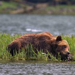 Khutzeymateen Grizzly Bear