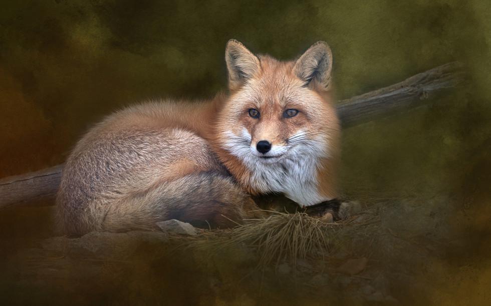 Fox - Solitude