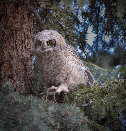 Great Horned Owlet Middle- New Neighbour