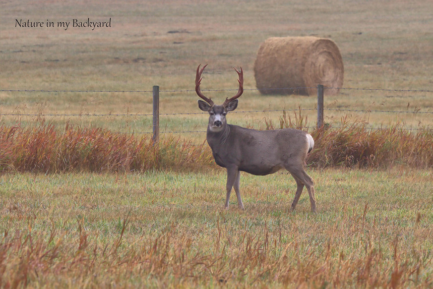 Mule Deer - Buck