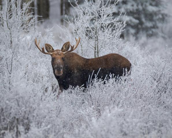 5 - Moose in the Frost.jpg