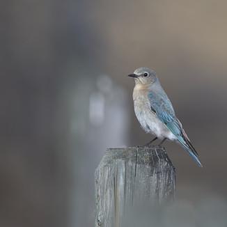 Bluebird female - beautiful blue in the