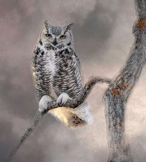 Great Horned Owl - Undaunted