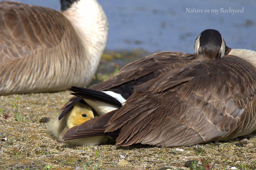 Canada Goose Goosling