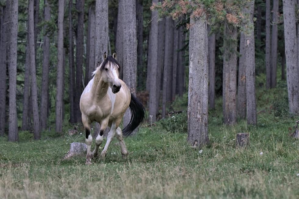 Alberta Wild Horse