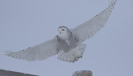 Snowy Owl Female