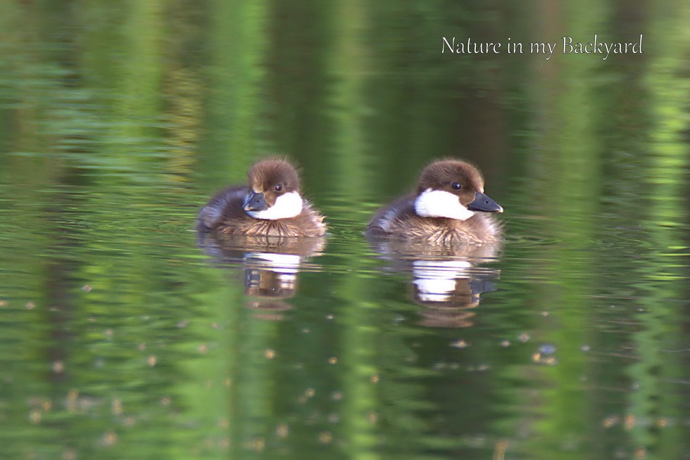 Goldeye Duckling