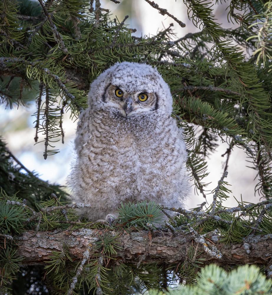 Great Horned Owlet - New Neighbour.jpg