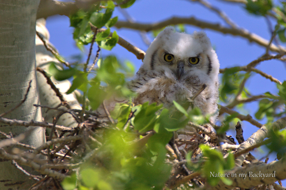 Great Horned Owlet