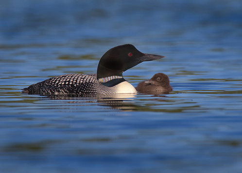Loon with chick looking sideways close w