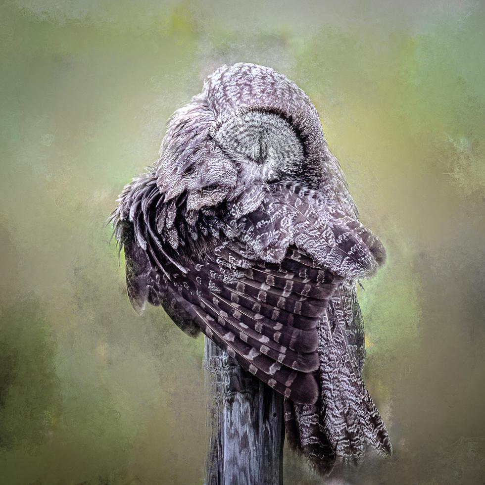 Great Grey Owl -  Hug Yourself