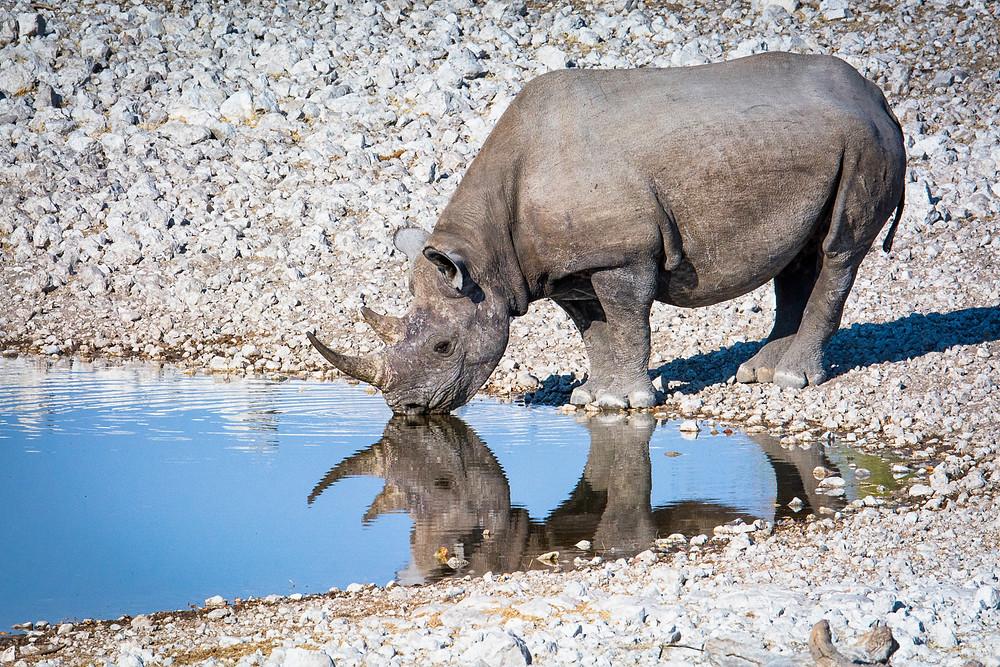 Eins der wenigen Nashörner das noch mit Horn durch den Etosha Nationalpark Namibia laufen darf