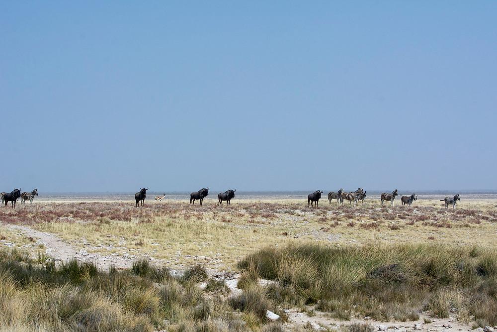 Verhalten der Tiere im Etosha Nationalpark