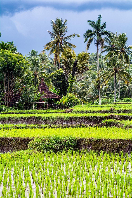 Reiseblog Reisfelder Java Indonesien