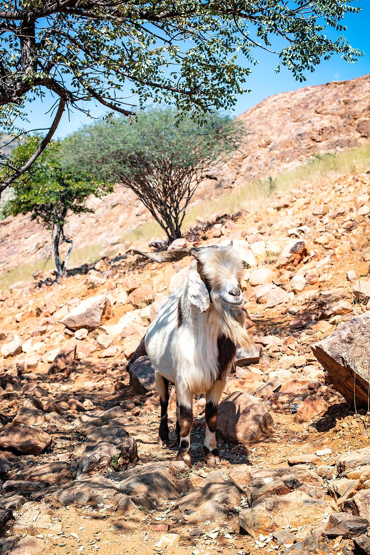 Ziege an den Epupa Fällen Namibia