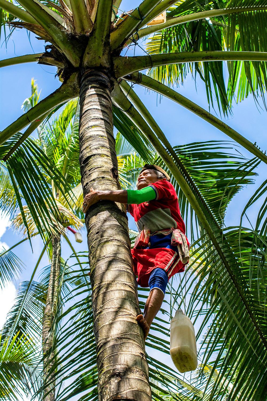 Kokospalme Kokosblütenwasser Java Indonesien