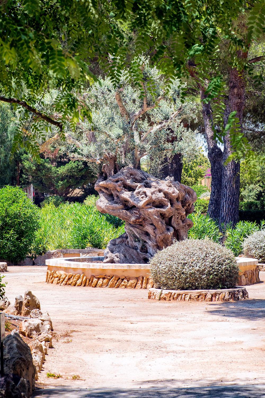 Olivenbaum Botanicactus Mallorca