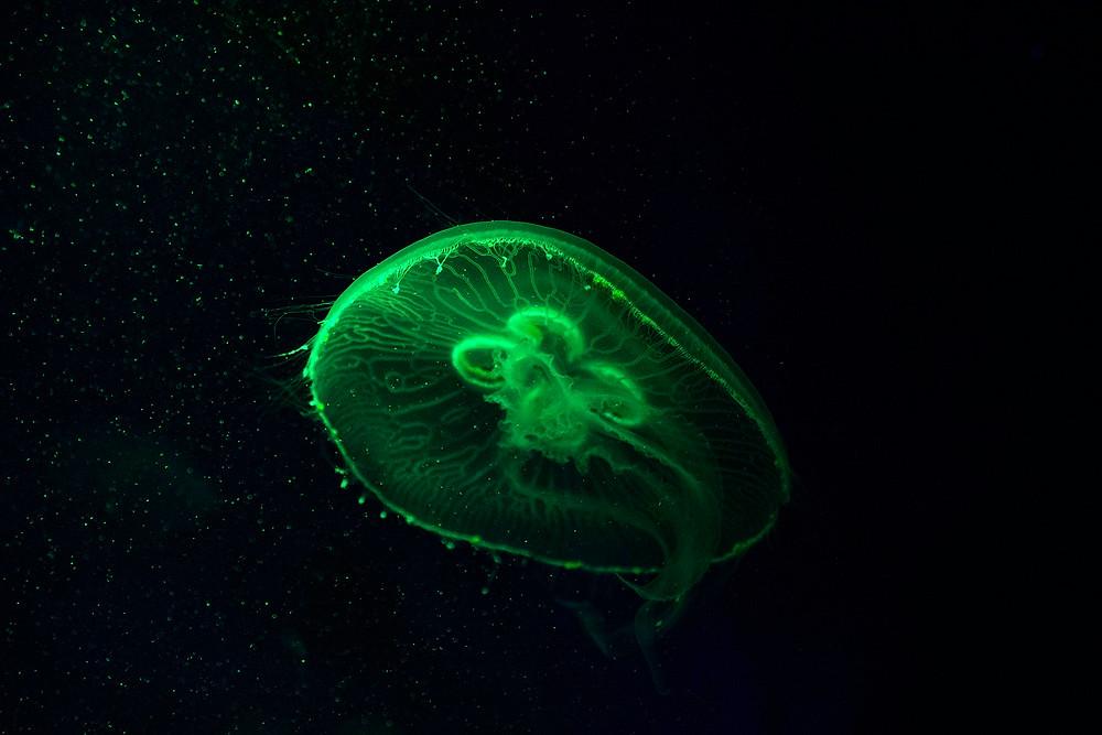 Eine Qualle im Medusarium des Palma Aquarium