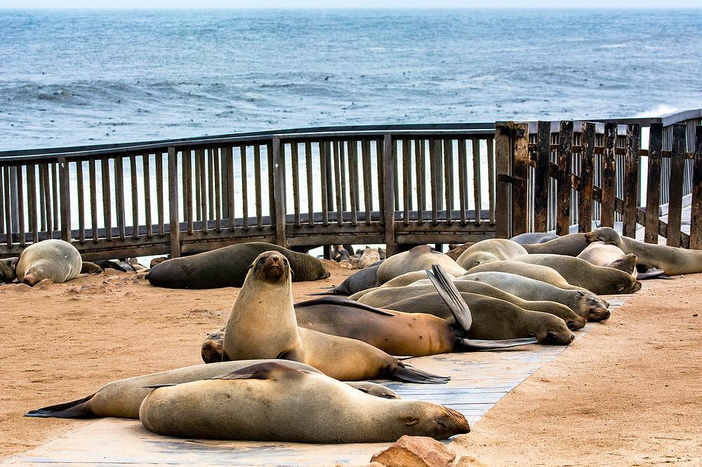 Robben am Cape Cross Namibia blockieren den Besucherweg