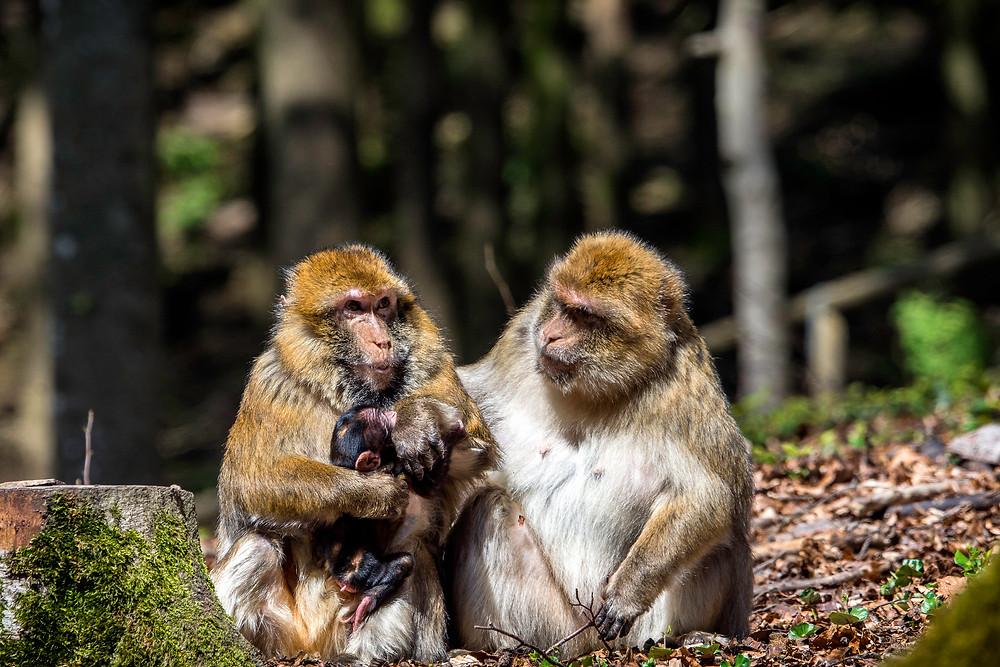 Wild- und Erlebnispark Daun Affengehege