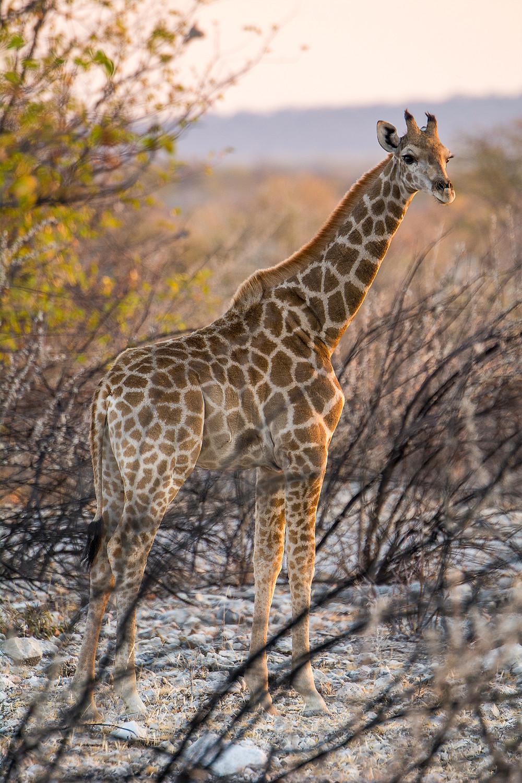 Eine junge Giraffe im Abendlicht in Namibias bekanntestem Natianalpark - Etosha Nationalpark