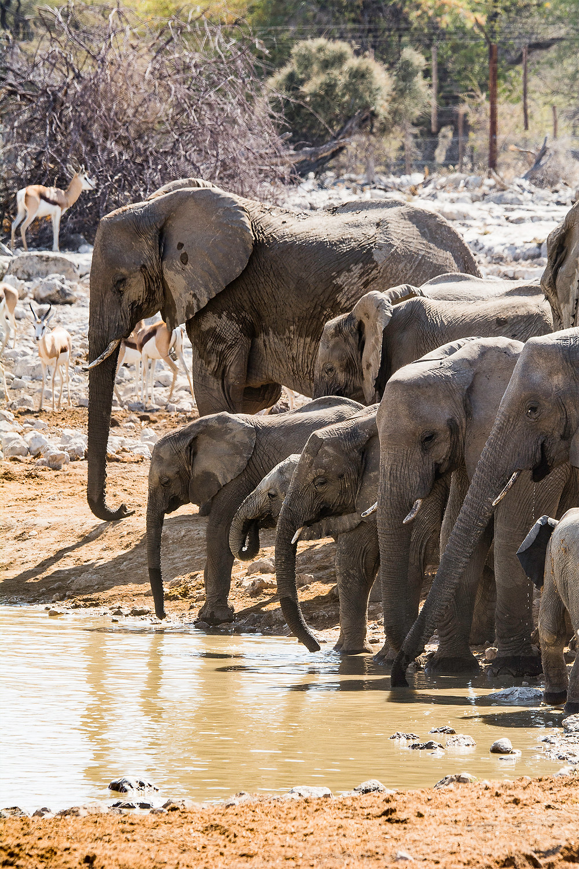 Im Okaukuejo Camp sind riesige Elefantenherden keine Seltenheit
