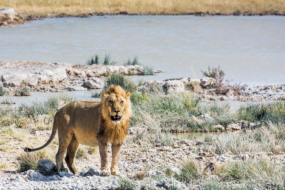 Löwe am Wasserloch im Etosha Nationalpark