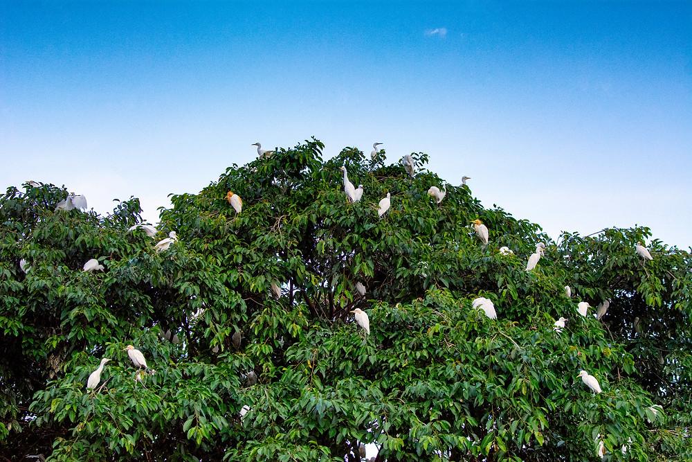 Die weißen Reiher von Petulu