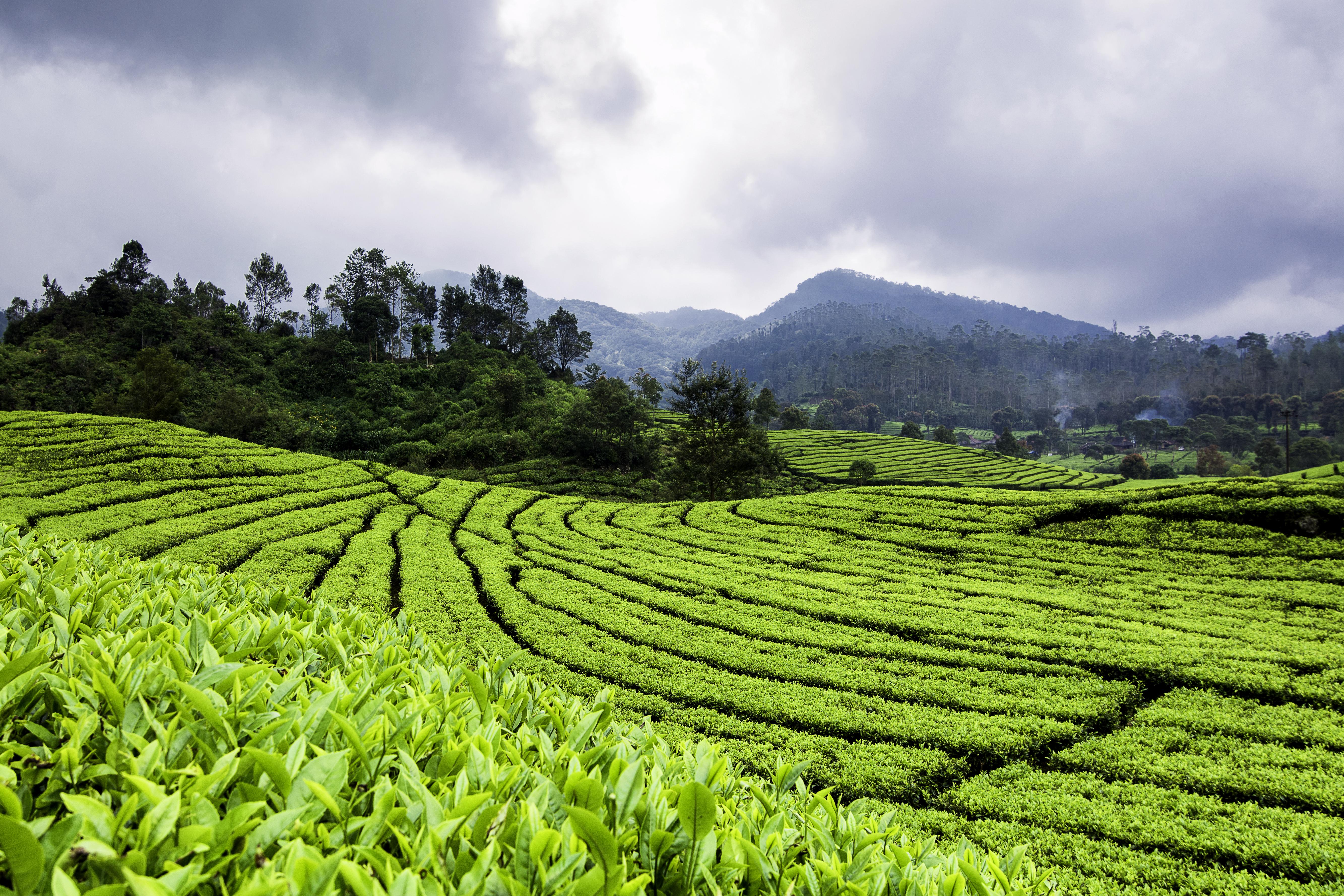 Teeplantage auf Java